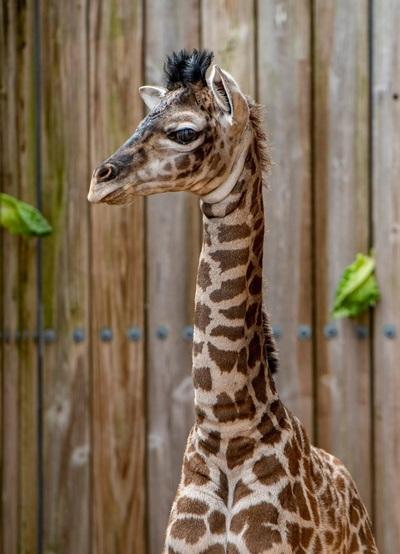 Nace una jirafa Masai en el parque Animal Kimgdon de Orlando