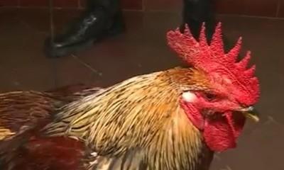 Detenidos por robar el gallo de su propia madre
