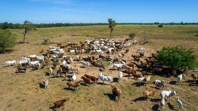 Cerca de  14 millones de bovinos vacunados en el primer periodo