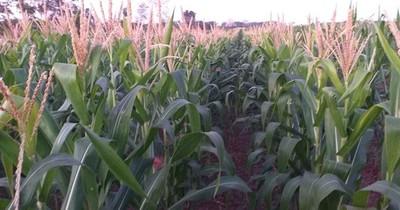 La Nación / El 30% del cultivo de maíz podría arruinarse por las heladas, según Héctor Cristaldo, de la UGP