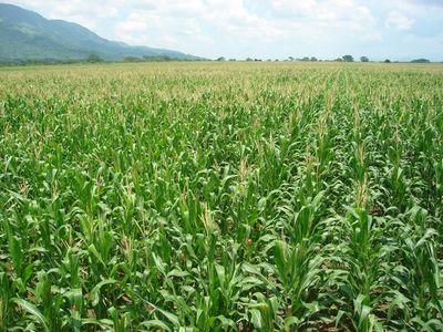 El 30% del cultivo de maíz podría arruinarse por las heladas, según Héctor Cristaldo, de la UGP