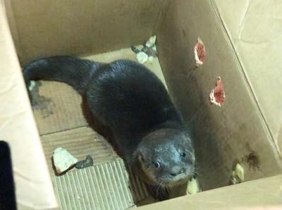 Rescatan a lobopé que era ofrecido en las redes por G. 800 mil
