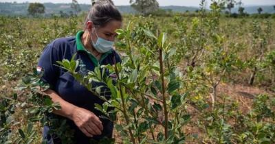 La Nación / Sector yerbatero atraviesa buen momento en envíos y precios