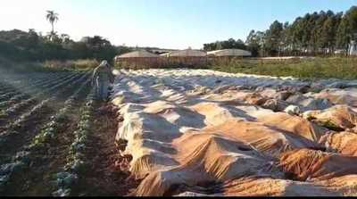 Primeras heladas provocan cuantiosas pérdidas a hortigranjeros de Alto Paraná