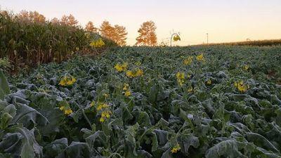 Alto Paraná: Estiman pérdidas del 30% en cultivos de maíz y girasol