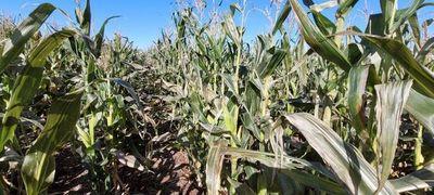 Heladas afectaron a cultivos de maíz en Itapúa