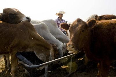El IICA destaca la importancia social de la ganadería en América Latina y el Caribe