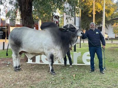 Con 1.230 kilos, el RP 152 es el Nelore más pesado de la Expo Nacional