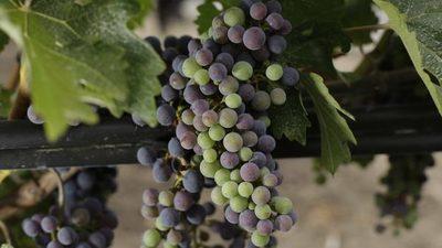 Científicos de EE.UU. consiguen mejorar la calidad del vino ralentizando la maduración de las uvas