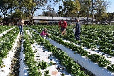 Frutillares de Areguá : Padres e hijos colmaron fincas para cosechar de frutillas