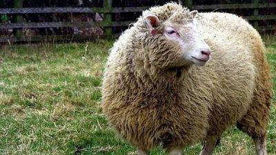 La oveja Dolly, el experimento que revolucionó la biología