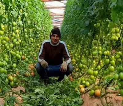 Joven emprendedor itapuense está a punto de cosechar unas 9.000 plantas de tomate