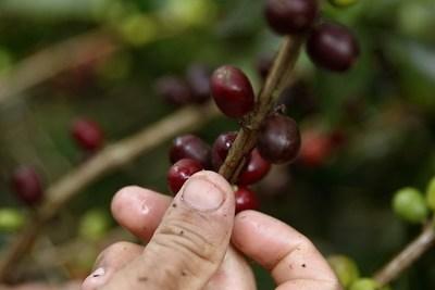 Exportaciones de café de Colombia caen un 11 % en junio por bloqueos de vías