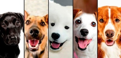 Revelan la raza de perro más inteligente del mundo