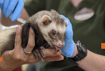 Zoologicos en EE.UU. vacunan contra el covid-19 a sus animales