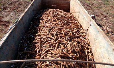 Fortalecen comercialización de mandioca en Itakyry