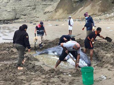 """¡Enhorabuena! Rescatan a """"bebé"""" ballena varada en costa suroeste de Ecuador"""