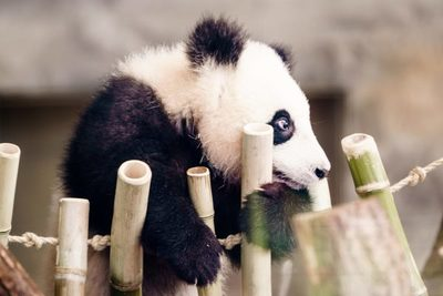 China elimina al oso panda de la lista de animales en peligro de extinción