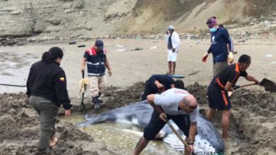 Más de siete horas duró rescate de ballena varada en costas de Ecuador