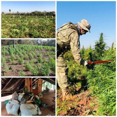 Anulan más de 468 toneladas de marihuana en la frontera entre Paraguay y Brasil en 5 días