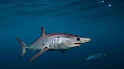 Conservacionistas critican la falta de protección del tiburón marrajo