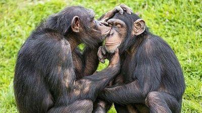 Los chimpancés, amenazados también por los trastornos mentales