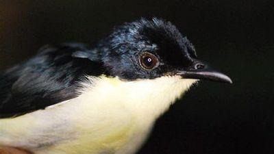 Científicos descubren una nueva especie de ave en bosques de Papúa
