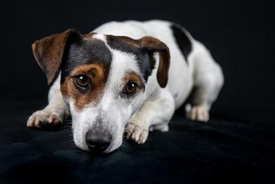 Estudio demuestra como la domesticación del perro cambió su mente
