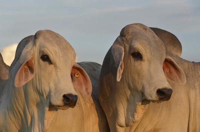 Brahman Junior realiza charla sobre fertilización in vitro para multiplicar ingresos en la ganadería