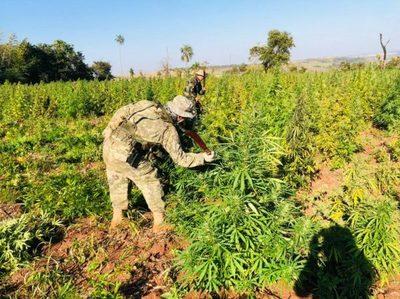 Paraguay y Brasil destruyeron 800 toneladas de marihuana en Amambay