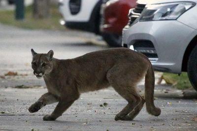 Puma anda suelto en un barrio de La Paloma