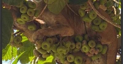 La Nación / Rescatan a una puma subida a un árbol en La Paloma