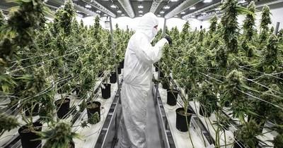 La Nación / El cannabis empezó a cultivarse en China hace 12.000 años