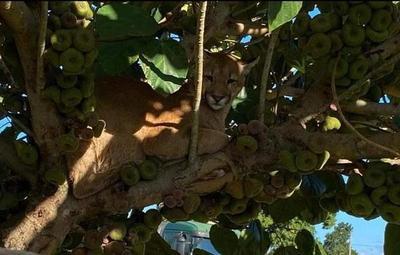 Canindeyú: puma rescatado goza de buena salud