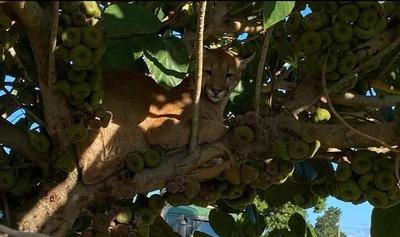 Puma rescatado en Canindeyú llevará un microchip