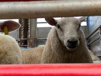 Criadores concretan importación de 50 animales Texel de cabañas uruguayas