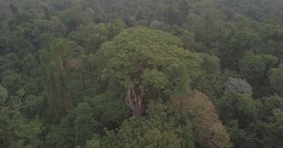 La Nación / Récord de inscripción de árboles en décima edición de Colosos de la Tierra