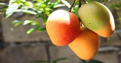 Evalúan alternativas innovadoras para la industrialización del mango en Paraguay
