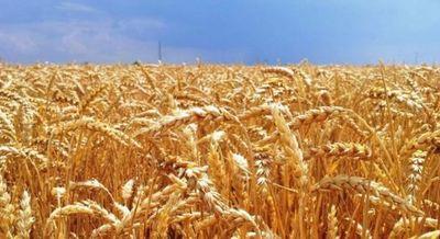 Precio del trigo sufre una caída de 3%