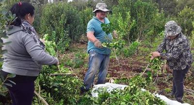 Productores de yerba mate de Itapúa logran instalar procesadora