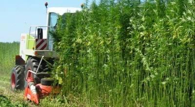 Gobierno apoya la siembra del cáñamo como cultivo alternativo