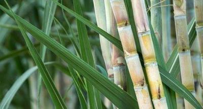 Analizan cadena de producción de caña de azúcar orgánica