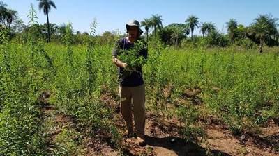 Pequeños productores inician cosecha de plantas medicinales