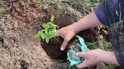 Arborizan acceso a Pilar con plantines donados por la EBY