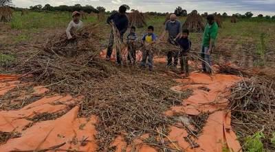 Productores indígenas del Chaco obtuvieron muy buena cosecha de sésamo
