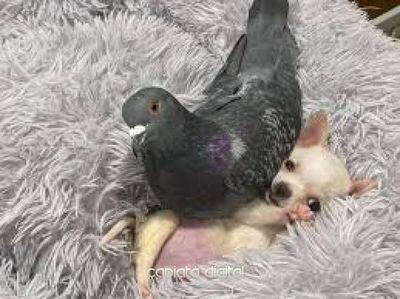 Amistad entre chihuahua y paloma con discapacidad conmueve las redes