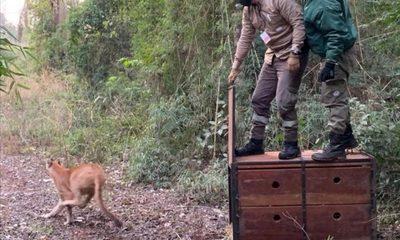 Puma rescatado en Canindeyú ya fue liberado a la vida silvestre