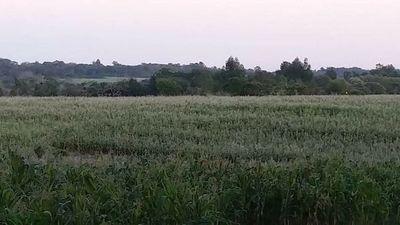 Pérdidas en trigo se suman a las de maíz por causa de heladas