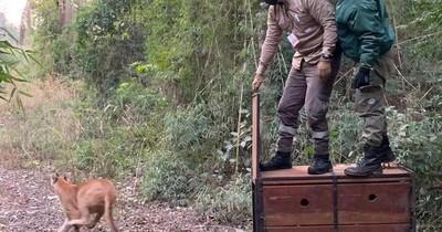 La Nación / Puma que dio susto en La Paloma volvió a su hábitat natural