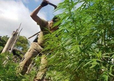 ¿Paraguay enfrenta decomisos interminables de marihuana?